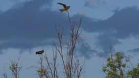 Two eagles on top of tree branch
