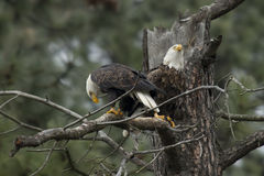Two eagles in a tree. Royalty Free Stock Photography