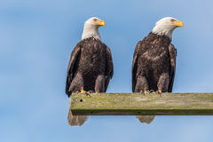 Two Eagles Watching. A pair of bald eagles surveying the area Stock Photo