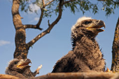 Two eaglets Stock Image
