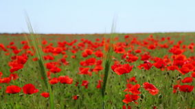 Two Ear of Corn and a Field of Blooming Red Poppies stock video footage