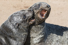 Two eared seals Stock Photo