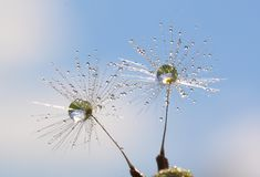 Two. Early morning. The wind blew from the fluff of dandelions. But the two were a feather with drops of morning dew. This gives them the weight and they could Stock Photography