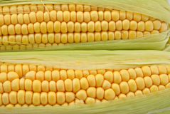 Two ears of corn Stock Images