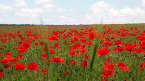 Two Ears and Poppy Field. Summer day. Poppy field. Two ears on the foreground. Flow focus stock footage