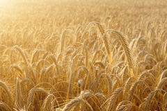 Two ears in a wheat field Stock Photography