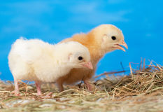 Two Easter chicks in hay Royalty Free Stock Photos