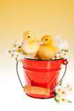 Two easter ducklings in a bucket Royalty Free Stock Photo