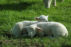 Two Lambs Sleeping in the Grass. Two lambs enjoying the sun Stock Images
