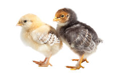 Two easter puffy chickens one on isolated white Stock Image