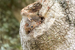 Two Eastern Gray Squirrels Peeking from Oak Tree Hollow. Two curious Squirrels peep out of a hollow in an oak tree royalty free stock images