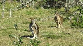 Two eastern grey kangaroos. Keep an eye on their environment stock footage