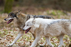 Two eastern wolves. Running through the forest Stock Photos