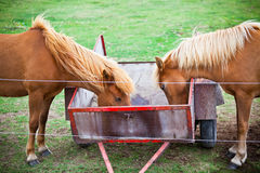 Two Eating Brown Horses in a Green Field of Grass. Horizontal shot Stock Photo