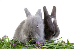 Two eating bunny Royalty Free Stock Image