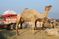Two eating dromedaries and colourful carriage,nomadic camp,India. Two eating dromedaries and colourful carriage in nomadic camp at Pushkar ethnic fair,Rajasthan Stock Photo