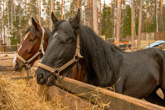 Two eating horses Royalty Free Stock Photography