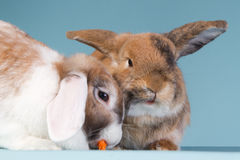 Two eating mini lop rabbits with blue background. Two mini lop rabbits on a blue background Stock Photos