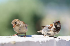 Two eating sparrows Stock Images