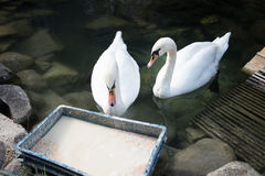 Two eating white swans. Elegant graceful bird. Feeding Stock Image