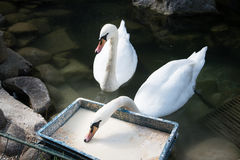 Two eating white swans. Elegant graceful bird. Feeding Royalty Free Stock Image
