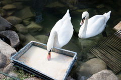 Two eating white swans. Elegant graceful bird. Feeding Stock Photography