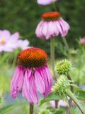 Two Echinacea purpurea Stock Image