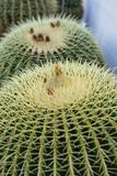 Two echinocactus grusonii cactus close up structure view macro stock images