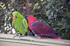 The two eclectus parrots are courting. The male is green and the female is red royalty free stock photography