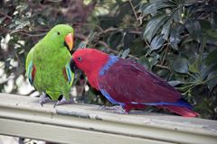 The two eclectus parrots are courting. The male is green and the female is red stock photos