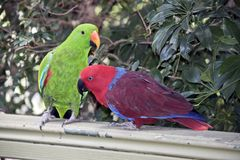 The two eclectus parrots are courting. The male is green and the female is red stock images