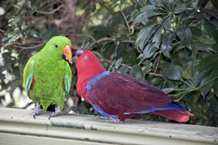 The two eclectus parrots are sharing food. As part of a mating courtship the male is green and the female is red royalty free stock images