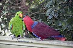 Two eclectus parrots sharing food. The two eclectus parrots are sharing food as part of a mating courtship; the male is green and the female is red royalty free stock photos