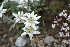Two edelweiss Royalty Free Stock Image