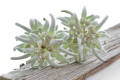 Two Edelweiss flowers on a piece of wood Stock Photography