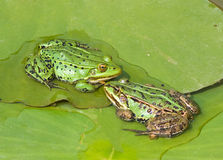 Two edible frogs. Two green edible frogs siting on the lily leaves Royalty Free Stock Images