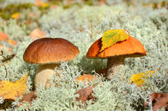 Two edible mushrooms Stock Photos