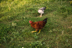 Two egg-laying hens in the yard. Two egg-laying hens walking in the green yard royalty free stock photo