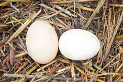 Two eggs Stock Images