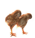Two eggs hen chicken standing and preening plumage feather isola Royalty Free Stock Image