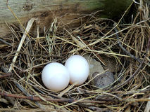 Two eggs in a nest Stock Images