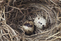 two eggs in a nest Royalty Free Stock Images