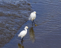 Two Egrets exploring wetlands Royalty Free Stock Images