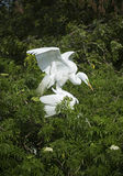 Two egrets in mating behavior at a Florida rookery. Royalty Free Stock Images