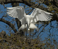 Two egrets mating in tree. Two white egrets mating in a tree in Florida stock images