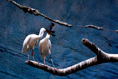 Two egrets Royalty Free Stock Photo