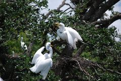 Two Egrets in nest Royalty Free Stock Photo