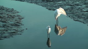 Two Egrets. In shallow water in the marsh stock video footage