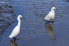 Two Egrets Standing in Wetlands Stock Images