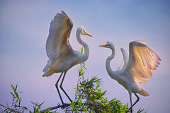 Two Egrets in the tree Royalty Free Stock Photos